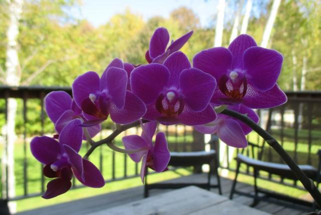 orchids eph